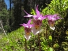 fairy-slipper_flower