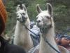 llama pair